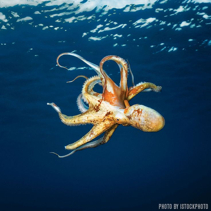 Check out these 14 interesting facts about octopuses, including facts about their beaks, ink and camouflaging ability.