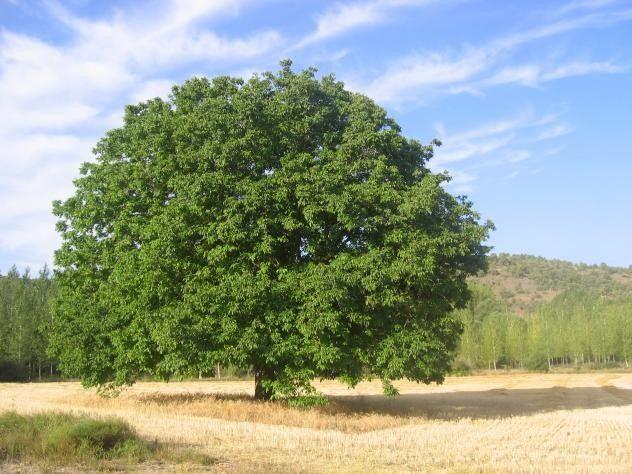 Descubre qué árbol eres según tu fecha de nacimiento - Nogal: la pasión