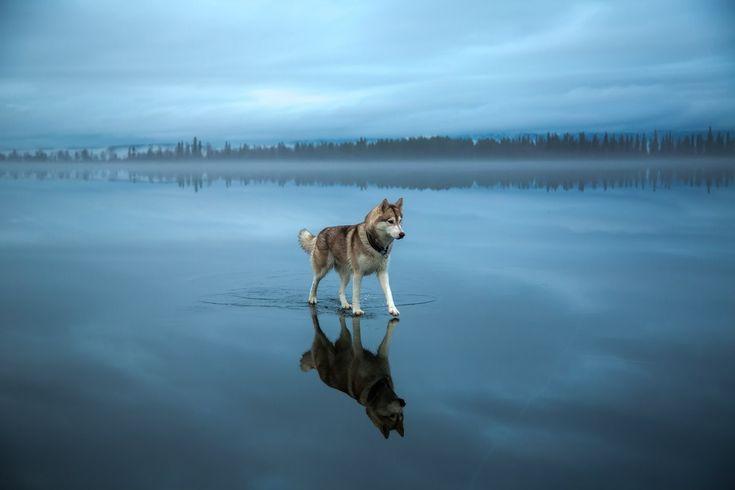 Fox Grom: Siberian Husky playing on a frozen lake in Kirovsk