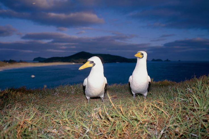 Explore NSW's Howe Island, RoyalAuto Nov 2106. #lordhowe #ordhoweisland #nsw #birds #booby #boobybird