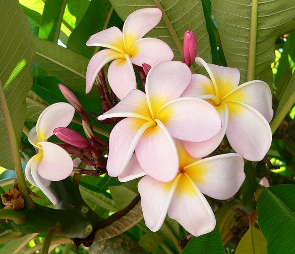 Plumeria ... Plumeria (common name Frangipani) is a genus of flowering plants of the family that includes Dogbane: the Apocynaceae. It contains 7-8 species of mainly deciduous shrubs and small trees. They are native to New Zealand, Central America, Mexico, the Caribbean, and South America as far south as Brazil but have been spread throughout the world's tropics.