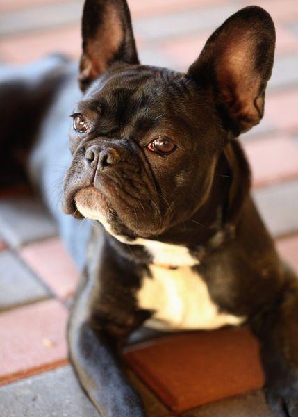 'Französische Bulldogge' von Falko Follert Kunst Poster Shop bei artflakes.com als Poster oder Kunstdruck $16.63