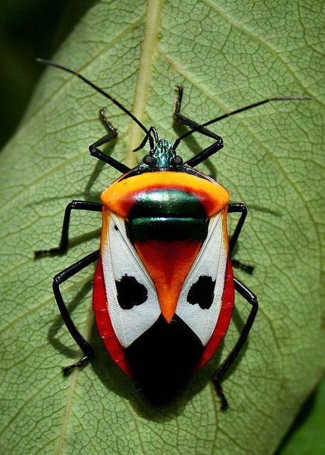 Ixora Shield Bug - Catacanthus punctus by Bill Higham, via Flickr