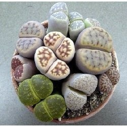 Living rocks/ Lithops. Waiting on my seeds now!