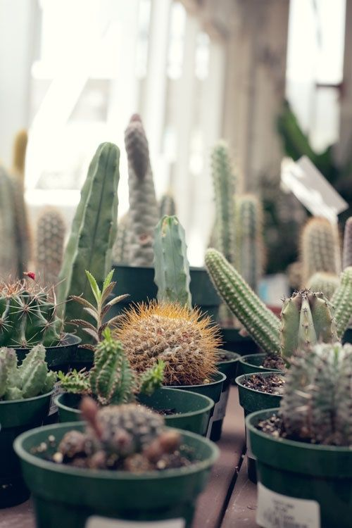 1000 Ideas About Types Of Cactus On Pinterest Types Of