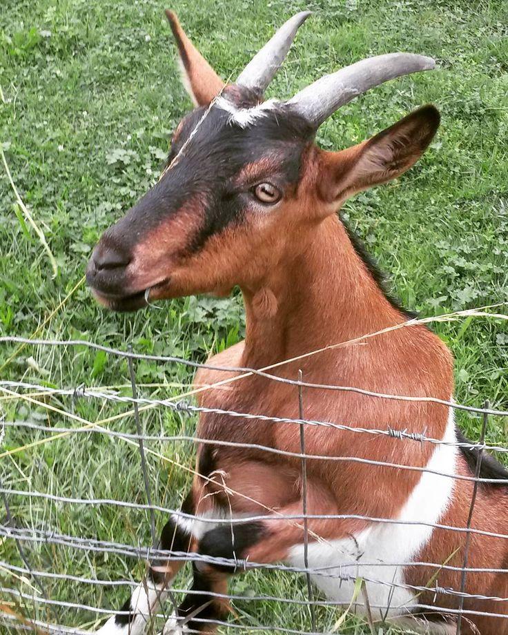 """Bon week-end à  tous """"La où  la chèvre  est liée, il faut bien qu'elle  y broute """"  Acte 3 Scene 3 """"Le médecin  malgré lui"""" Molière  #nature#animal#goat#countryside#meadow#pasture#paddocks#animals#lover_animal#farm#bns_france#ir_ig#igersbourgogne#hello_france#super_france#chevre#bourgogne#campagne#like4like#like#haveaniceday"""