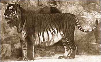 Historicly, Caspian Tigers were used by the Romans to fight gladiators, as well as other animals, in the arenas. They lived in China, Tajikistan, Iran, Afghanistan and Turkey. One of the most important factors in the Caspian tiger's decline and extinction was that it was already vulnerable due to the restricted nature of its distribution in riverine habitats which were also intensively used by humans. Hunting, loss of habitat and large wild prey are the primary causes of the extinction.
