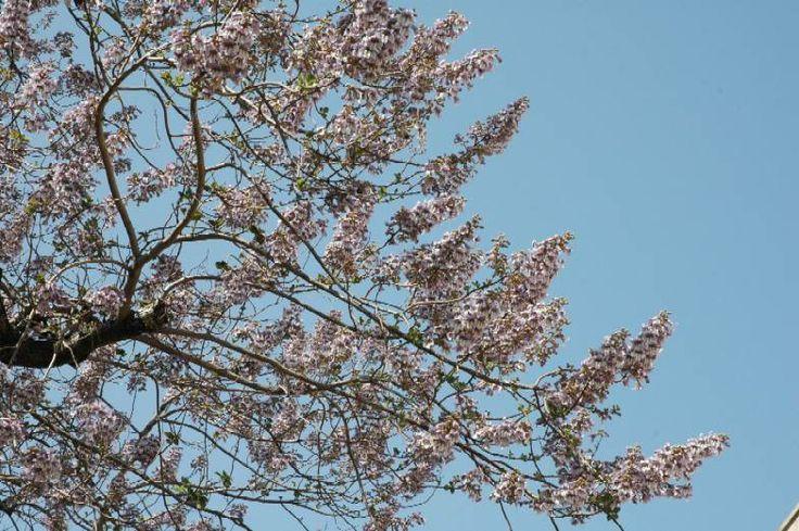 桐の花  kirinohana paulownia
