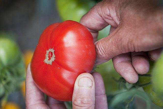 Les tomates ne s'hybrident pas naturellement. Choix du fruit, nettoyage, fermentation : récolter et conserver les graines de tomates.