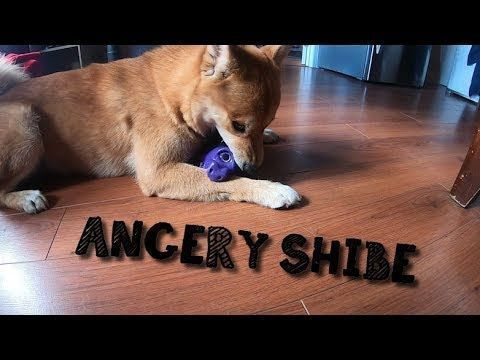 Angry Shiba Inu Barking At His New Pig Toyhttps Http Www Youtube Com Watch V Angry Shiba Inu Barking At His New Pig To In 2020 Shiba Inu Husky Zitate Husky Lustig