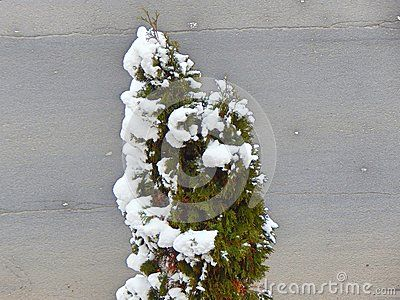 Little green tree with snow on grey background, photographed outdoors at winter in Romania.