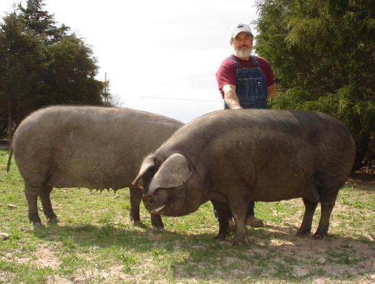 Raising Large Black Hogs » The Homestead Survival