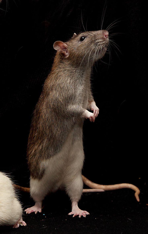 16 best rat/mice anatomy images on Pinterest | Rat mouse, Computer ...