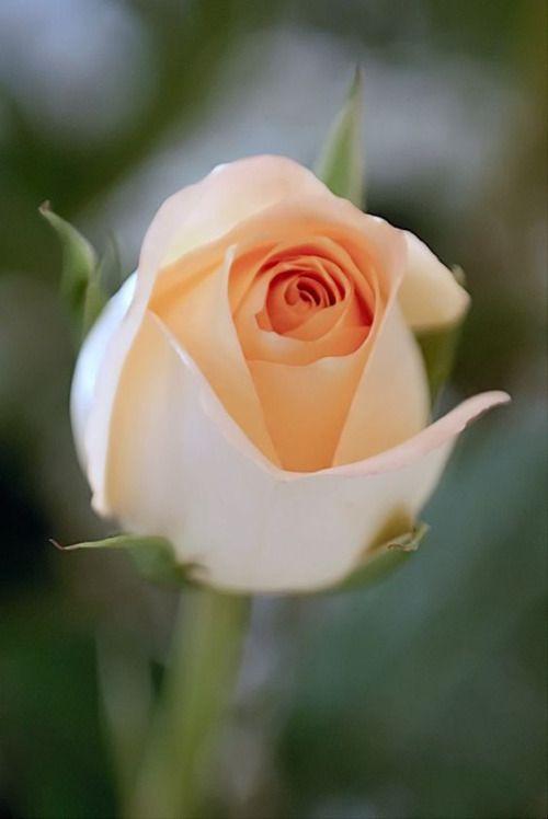 Love peach roses!