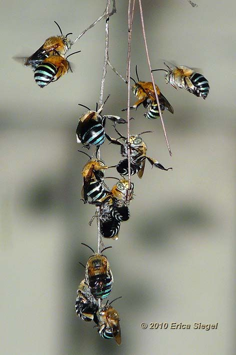 Australian Native blue banded bees roosting, i've been lucky enough to see one in my garden, just beautiful & move quite differently to domestic bees