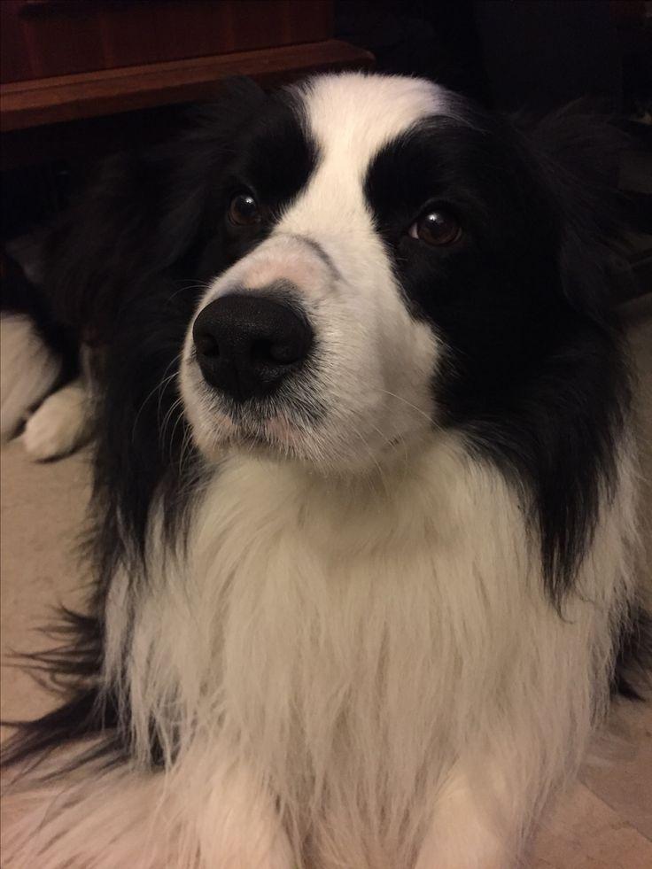 1461 best Border Collie images on Pinterest | Dog, Dogs ...