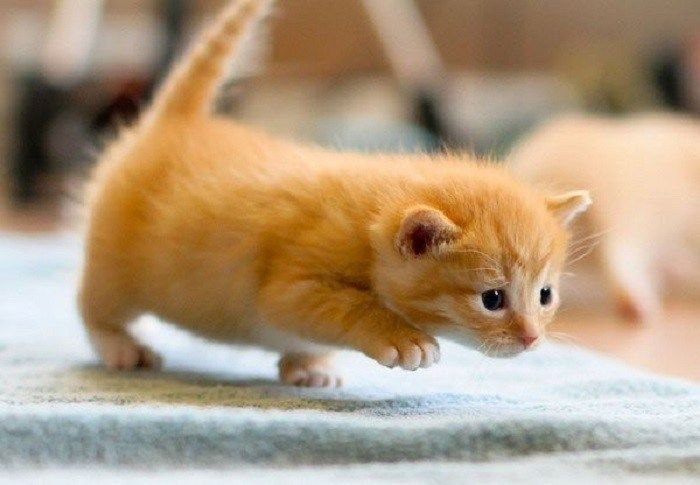 Baby Cat Walking Kittens Walking When Do Kittens Start Walking Around When Can You Touch Kittens When Cute Cat Memes Cute Little Animals Cute Baby Animals