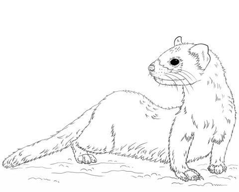 Black-footed Ferret Coloring page | Drawing tutorial ...