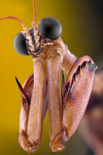 "Looks like it's praying! Let Everything that hath breath praise him ""Mantis fly by Keith Trueman"""