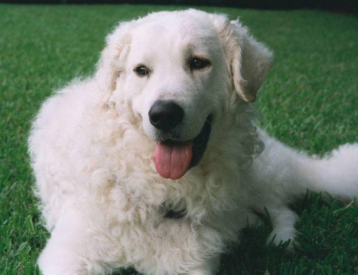 kuvasz dog | Kuvasz : The Dogs Breeds