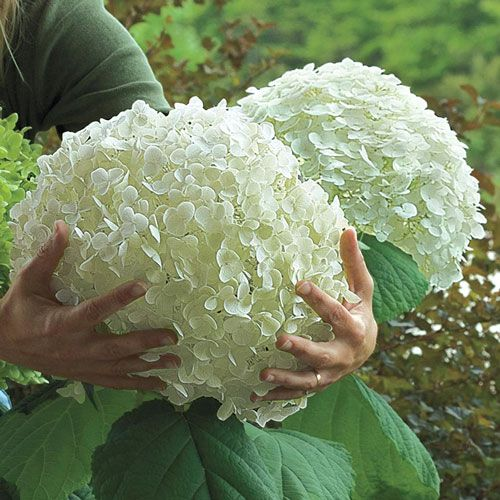 Incrediball Hydrangea. Beautiful.