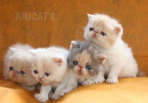 Raças de Gatos mais procuradas:Persa, BENGAL, Maine Coon, Ragdoll, Exótico - Canil Amichetti Gatil Amicats Filhotes Cães Gatos Gigantes