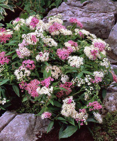 Nízký pestrý tavolník. Spiraea japonica 'Shirobana'.  Tato mrazuvzdorná rostlina je výjimečná svými bílo-červenými dekorativními květy. 4 - 5 ks na bm. Stanoviště: plné slunce - polostín. Doba kvetení: červen - srpen. Výška: asi 50 cm.