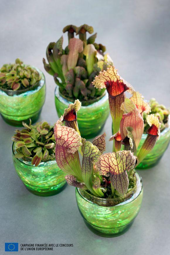 A chacune sa technique de capture ! La Dionaea, ou Dionée attrape-mouche est doté de feuilles diaboliques qui se referment avec une rapidité fulgurante tandis que le Drosera englue sa proie sur ses feuilles pourvues de tentacules.