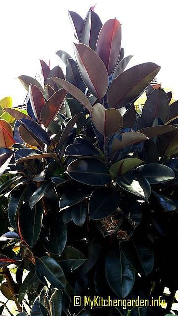 How To Care A Rubber Tree Plant