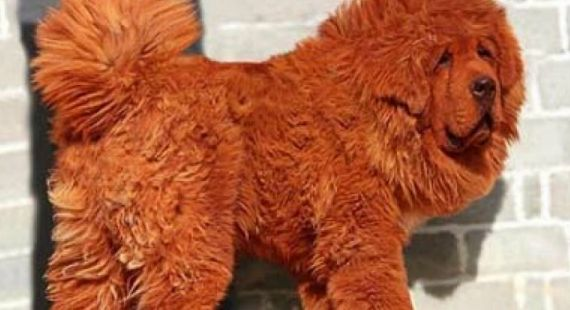 Mastim tibetano, o cão milionário #cao #cachorro #pet #mastim #mastiff #luxury #luxo