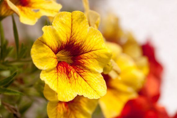 Petunia Meaning Types How To Grow 65 Photos Yellow Petunia Flower With Re Petunia Meaning Types How To Grow 65 In 2020 Petunia Flower Petunias Flowers