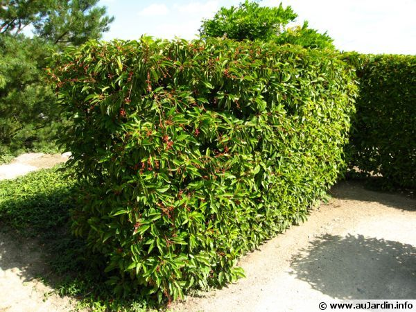 Laurier du Portugal, Prunus lusitanica