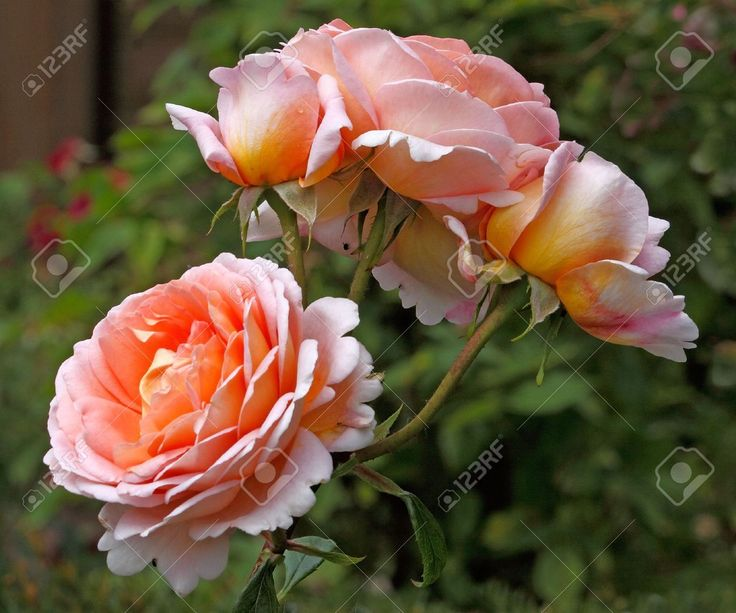 Image result for abraham darby rose