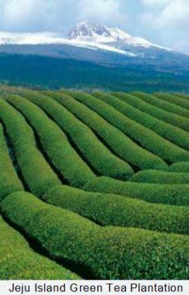 Jeju Island Tea Plantation