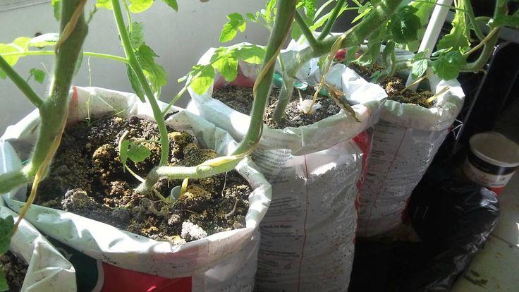 update #2 Make free DIY self watering grow bag for vegetable gardening  ~ ://www.youtube.com/watch?v=Zxn5vC6maWE
