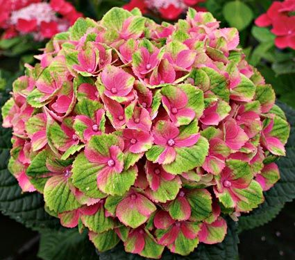 Hydrangea macrophylla 'Everlasting™ Amethyst' - Huge pink or lilac blooms (depending on you soil pH) blossoms age to lime green. Zones 4-9