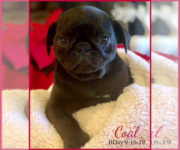 Pug Puppy For Sale In Moselle Ms Usa Adn 166778 On Puppyfinder