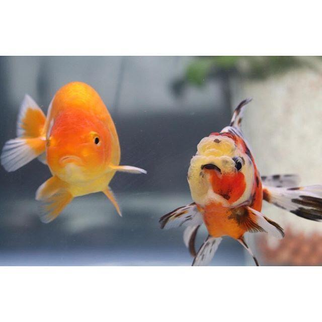 【goldfish_angel33】さんのInstagramをピンしています。 《First couple shoot😉  初ツーショットになります((*´∀`*))らんちゅう君は熾烈な餌争奪戦にも負けずたくましく生きてます😆 #goldfish #goldfishunion #goldfishtank #aquarium #goldfishofinstagram #watertank #oranda #アクアリウム #redcaporanda #金魚 #東錦 #丹頂 #水槽 #桜東錦 #金魚水槽 #goldfishkeepers #goldfishlover #caricooranda #instagoldfish #らんちゅう #ranchu #goldfishinstagram #パンダ蝶尾 #panda #telescopegoldfish #goldfishjunkie #fancygoldfish #goldfishcommunity #fishtank》