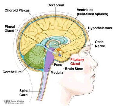 Diagram of head showing pituitary gland | Health ...