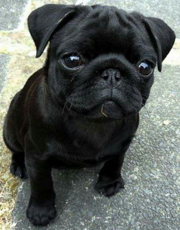 Cute Black Pug Cute Pugs Black Pug Puppies