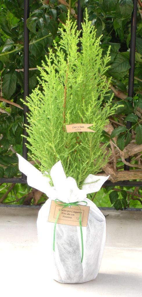 Plantas de souvenir, mini pino lemon