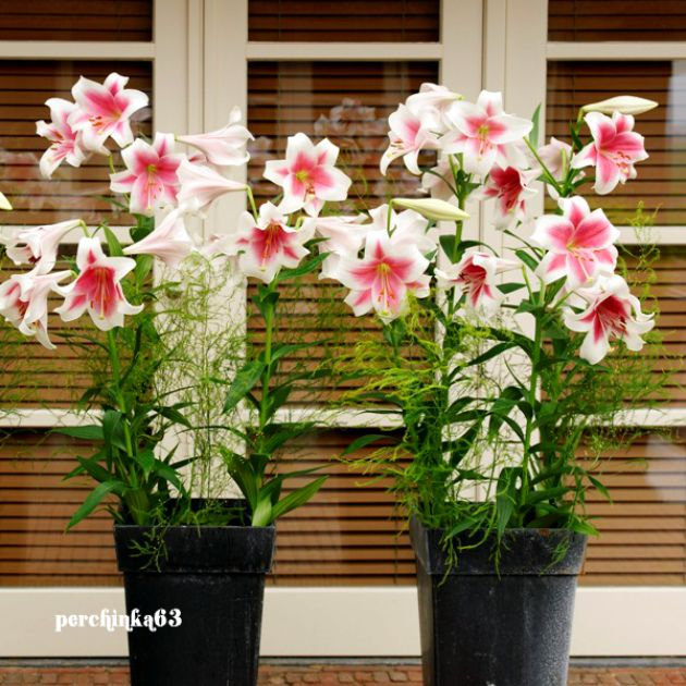 Как вырастить лилию в кадке - perchinka63.ru