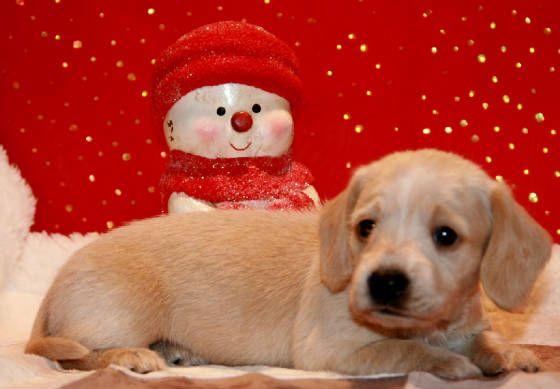 English Cream Miniature Dachshund Puppies Available In Al Az Ar