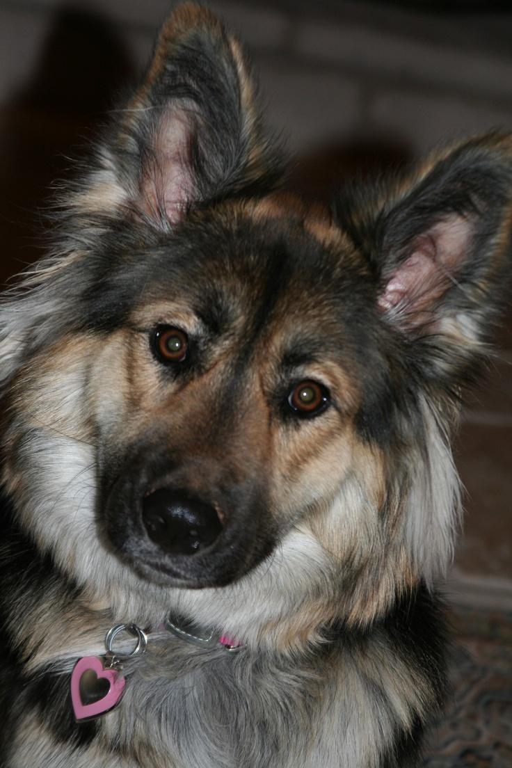 Husky Border Collie Mix Puppies Best 25+ Border...