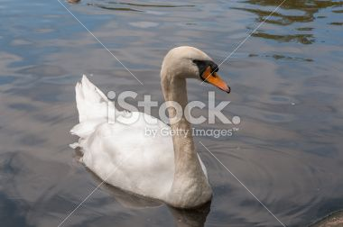 Swan in a Lake Royalty Free Stock Photo