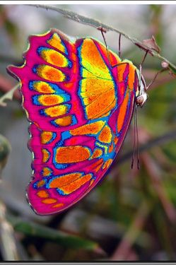 LOOK a tie-dyed Butterfly! Awesome! From: (Eastwestfalian Fire Clipper Butterfly http://i1.treknature.com)