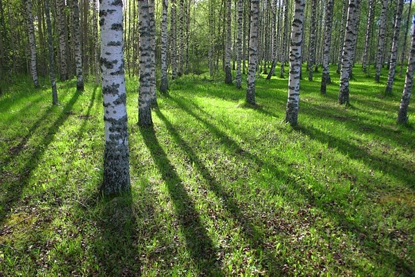 Birch Forest somewhere in Southern Finland. This is quite typical to my home country Finland :)