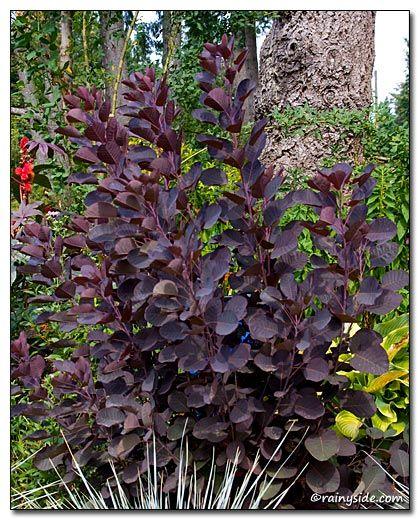 how to grow maroon bush