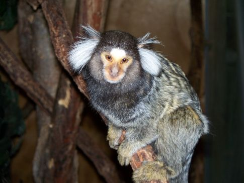 This cute White Eared Tufted Marmoset can be found along with other unique animals at Zoo Safari in Locus Grove.