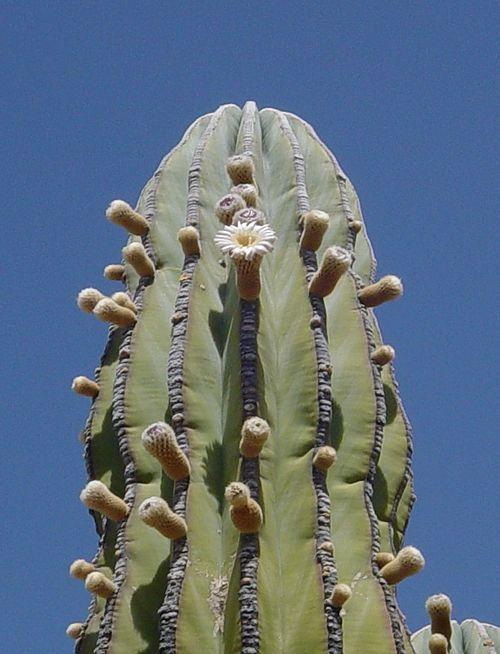 Mexican Giant Cardon or Elephant Cactus